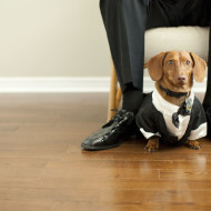 Dachshund in tuxedo with grooms shoes